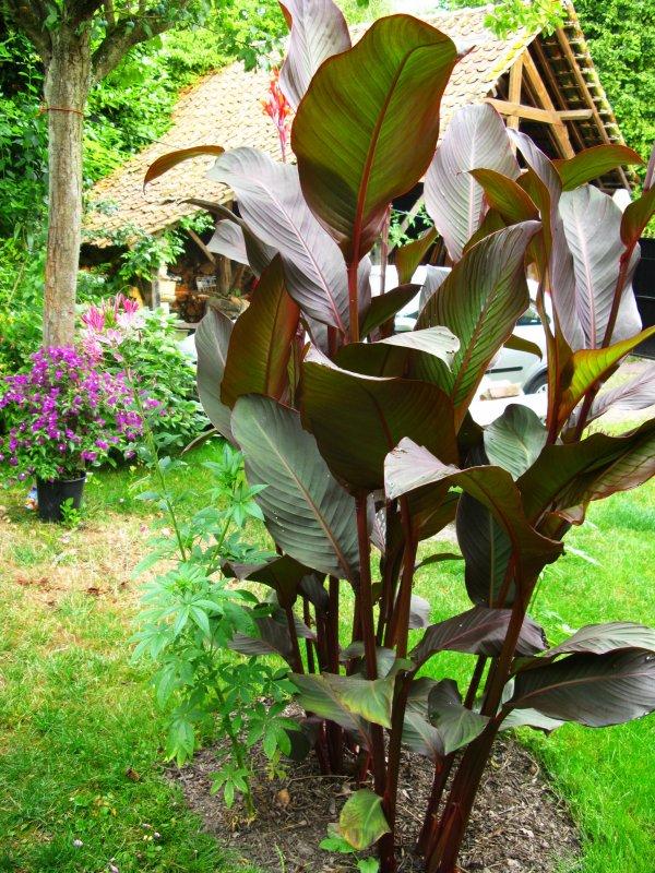 canna musafolia plant exo62. Black Bedroom Furniture Sets. Home Design Ideas
