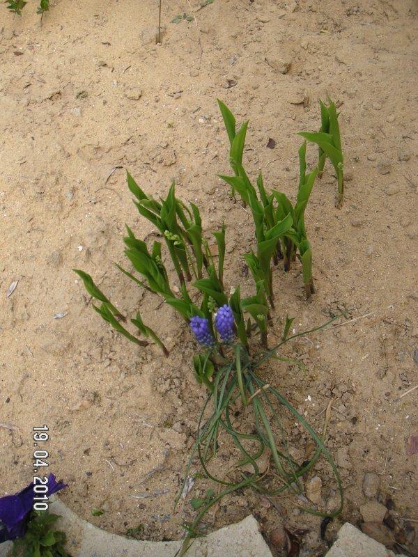 Malgr le manque de pluie le muguet pousse plant par mon propri taire pour le 1er mai 2009 - Ou planter le muguet ...
