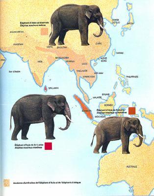 Éléphant d'Afrique vs éléphant d'Asie