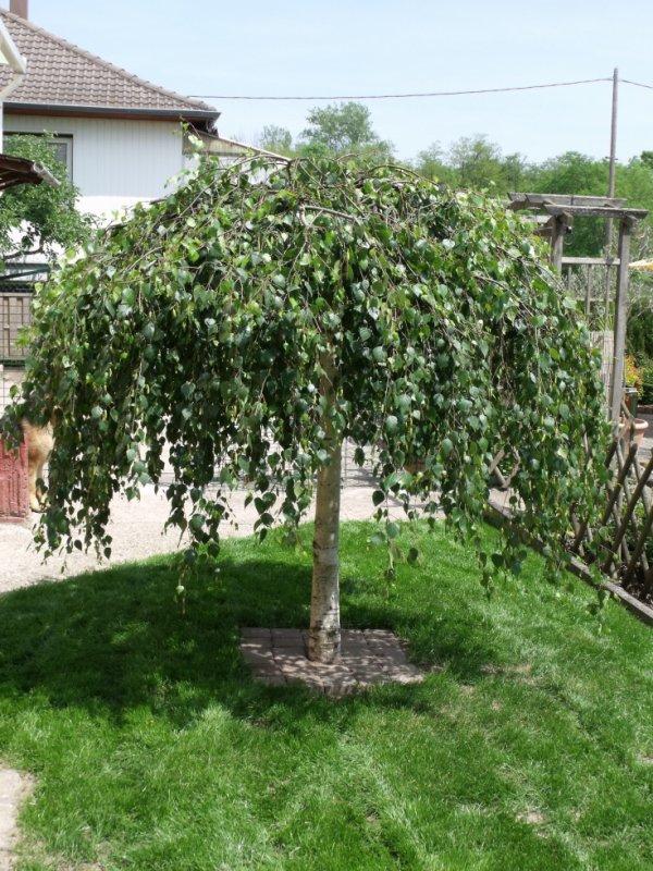 Bouleau pleureur les plantes de mon jardin - Petit arbre de jardin ...
