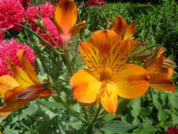 des fleurs de mon jardin pour vous faire un peu rever blog de tamara. Black Bedroom Furniture Sets. Home Design Ideas