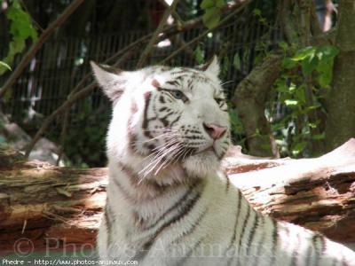 Tigre polaire romain - Tigre polaire ...