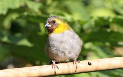 Le sporophile petit chanteur ou petit chanteur de cuba for Petit oiseau gris