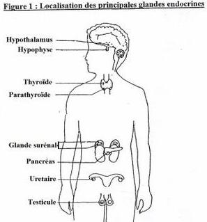 systme glandulaire ou endocrinien - directionaturecom