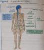 P�le 3 : Chapitre 11 : L'organisation g�n�rale du syst�me nerveux
