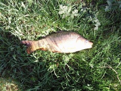Carpe la p che et les poissons for Poisson rouge en bassin exterieur