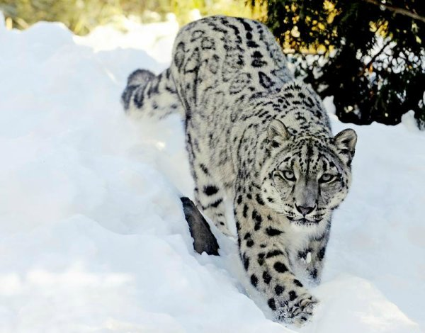 Panth re des neiges panthera uncia species of animal - Chat type leopard ...