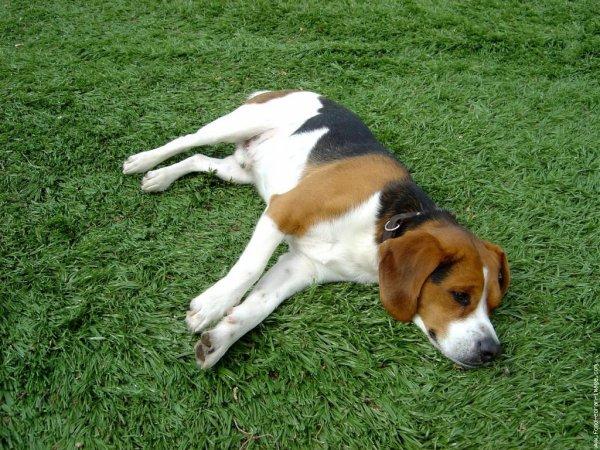 Blog de les traces du chien blog de les traces du chien - Beagle adulte ...