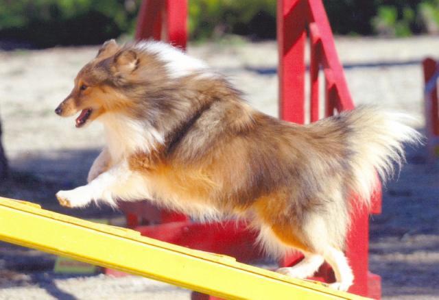 chien-agility-star