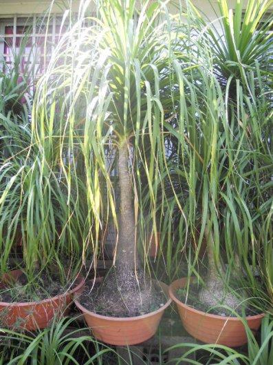 magnifiques grandes plantes d coratives int rieur exterieur