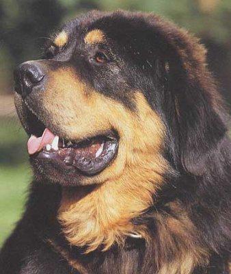 blog de amoureux des chiens33 page 2 blog de amoureux des chiens33. Black Bedroom Furniture Sets. Home Design Ideas