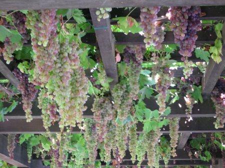 articles de virginie 376 tagg s comment cultiver une vigne en pot jardins de r ve. Black Bedroom Furniture Sets. Home Design Ideas