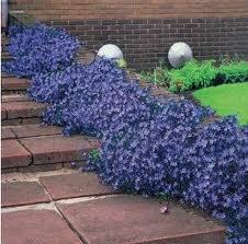 Les campanules des murs jardins de r ve - Campanule des murs ...