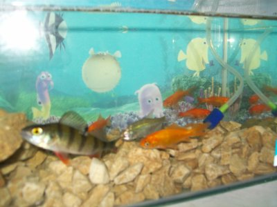 et mon aquarium avec ma perche mon gardon et mes poisson rouge blog de filsdebraco86m. Black Bedroom Furniture Sets. Home Design Ideas