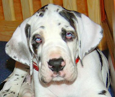 Défaut du Dogue Allemand : les YEUX - Blog sur les