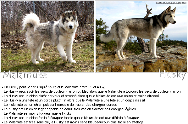 What Is Difference Between A Siberian Husky And A Alaskan
