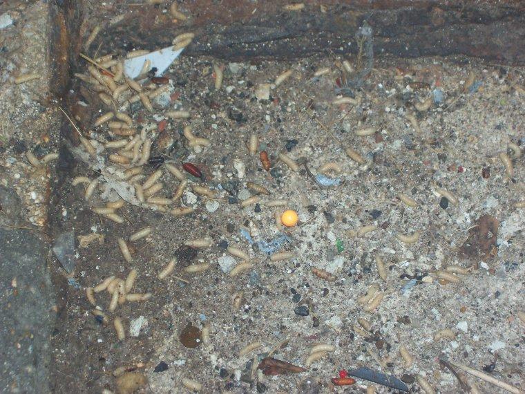 Ok je comprend pourquoi ya tant de mouches les asticots blog cree par l - Avec quoi tuer des asticots ...