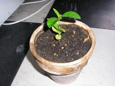 semi de Cl�mentinier