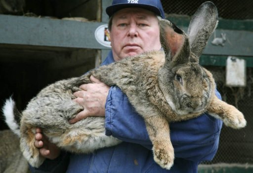 Photo d'un lapin des Flandres