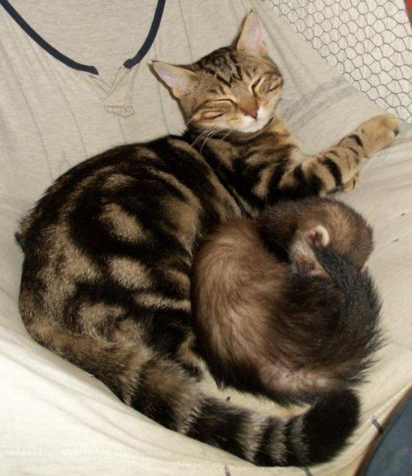 Cohabitation animaux furets blog de passionfurets27 - Les furet auto ...