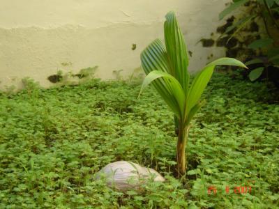 une noix de coco germee trouve a air manis et plante en rentrant ici ca pousse bien
