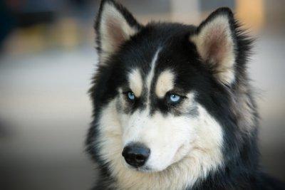Le Husky Sibérien - Blog de TerreSauvage