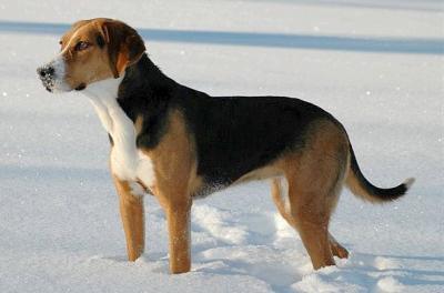 blog de chiensdepurerace page 22 toutes les races de chiens du monde. Black Bedroom Furniture Sets. Home Design Ideas