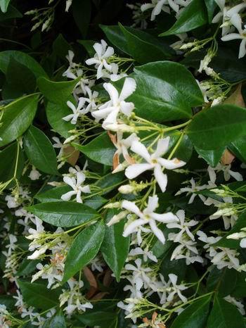 fiche n 10 le jasmin toil un petit arbuste pour fleurir vos massifs blog de jardin974. Black Bedroom Furniture Sets. Home Design Ideas