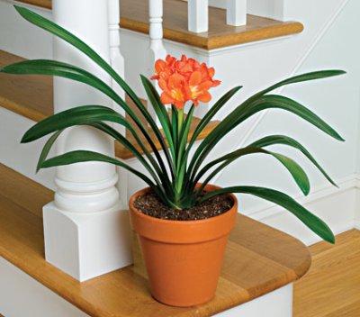 Clivia lis de st josephe plante d 39 appartement for Plante interieur appartement