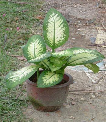 Dieffenbachia plante d 39 appartement eschscholzia110 - Plante d appartement originale ...
