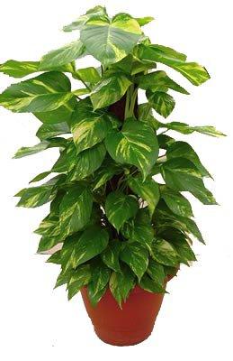 Pothos plante d 39 appartement eschscholzia110 - Plante d appartement originale ...