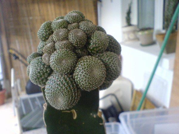 cactus greff�