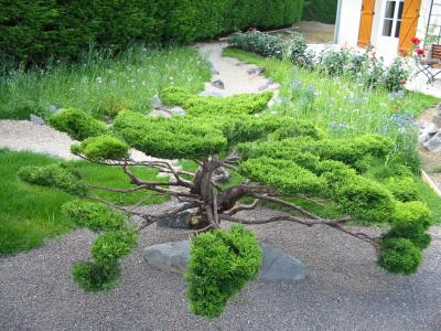 taille en nuage d 39 un juniperus jardin japonais. Black Bedroom Furniture Sets. Home Design Ideas