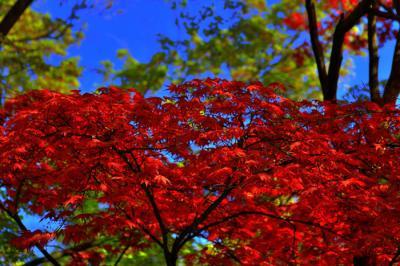 Erable rouge du japon jardin japonais - Erable rouge du japon ...
