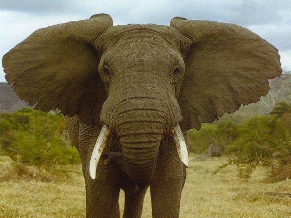 l elephant d Afrique L...
