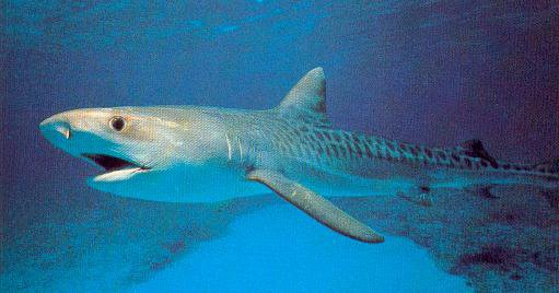 9 le requin tigre on croit le requin dangereux mais le - Photo de requin tigre a imprimer ...