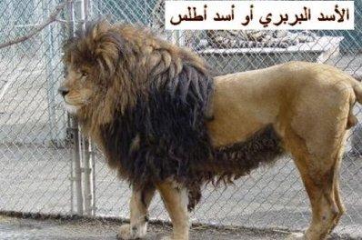 الاسد الوهراني الاطلسي اهرن              هدية من امازيغ وهران
