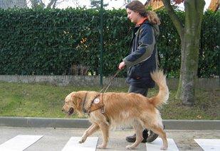 Ce qu'un chien guide d'aveugle peut faire. - La Déficience