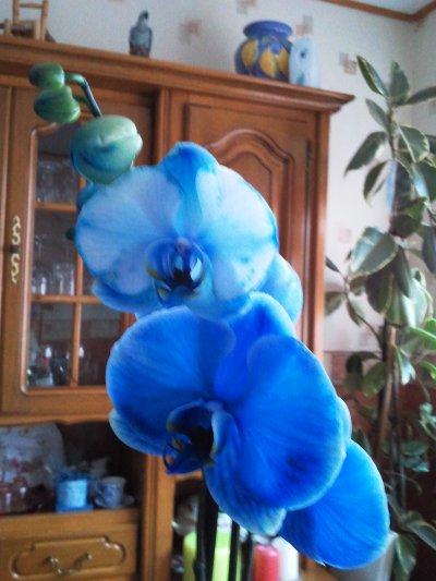 Fiche de culture de l 39 orchid e phalaenopsis plus vid o - Entretien de l orchidee ...