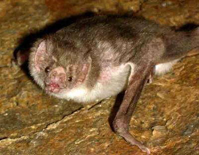 La chauve souris vampire l 39 antre de sohtym - Chauve souri vampire ...