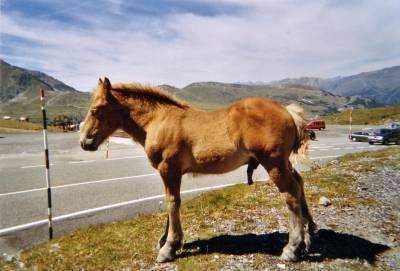 cheval en rut