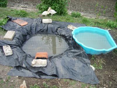 Enfin un p 39 tit bassin pour mes canards la passion des oiseaux - Bassin canard d ornement pau ...