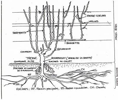 Voici un sch ma du plan de vigne bien explicatif que nous avons dans toutes les r gions - Comment planter un pied de vigne video ...