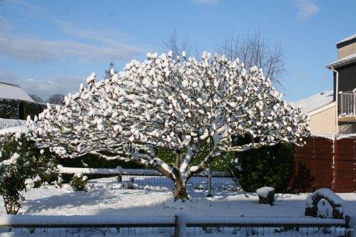 Tien un arbre boule de neige - Arbre boule de neige ...