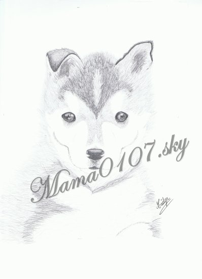 dessin d 39 un husky sib rien le blog d 39 une passionn e de dessins w. Black Bedroom Furniture Sets. Home Design Ideas