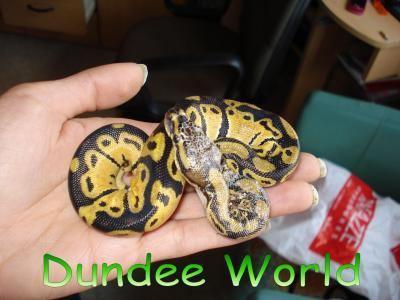 Python Regius Lemon Pastel