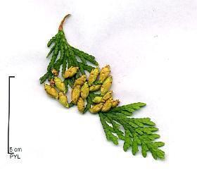 7 4 parasites maladies le jardinier du 82 - Maladie des thuyas ...
