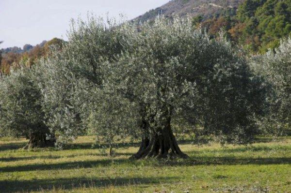 111 2 la taille de l 39 olivier le jardinier du 82 - Periode de taille olivier ...