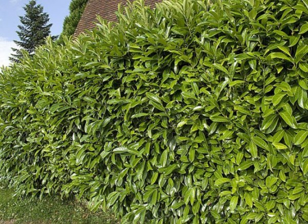 118 2 quand tailler arbres et arbustes floraison printani re le jardinier du 82 - Quand tailler les arbustes ...