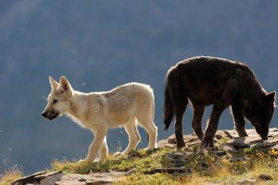 Avis à tous les loups de Sarkan : Alignement 2919260405_small_1